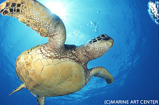 ウミガメの画像 p1_1