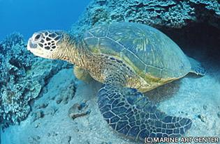 アオウミガメの画像 p1_3