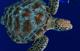 海のいきもの ソックリさんの見分け方 第1回 ウミガメ