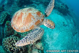 アオウミガメの画像 p1_4