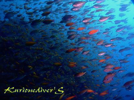 田子で群れ群れダイビング。外海2ダイブ