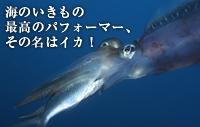 海のいきもの 第10回 最高のパーフォーマー、その名はイカ!