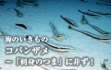 海のいきもの 第18回 コバンザメ~「刺身のつま」に非ず!