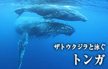 ザトウクジラと泳ぐ トンガ