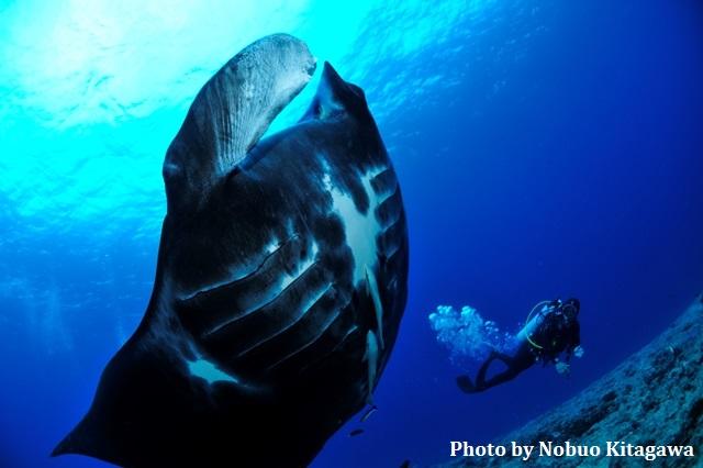 ニューカレドニア「パス・ドゥ・ブーラリ・アウト」で 見られるブラックマンタはダイバーなら一度は会いたい大物