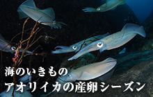海のいきもの 第31回 アオリイカの産卵シーズン
