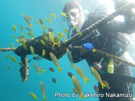 コガネシマアジ幼魚