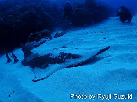 トンガリサカタザメ