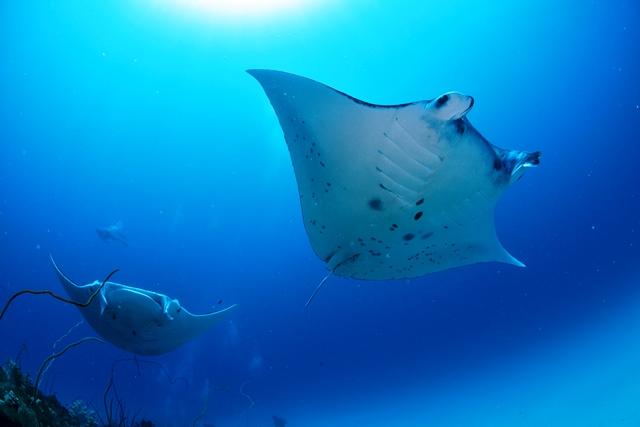 マンタに会える海の筆頭! 国内ダイビングエリア人気NO.1(※1)の石垣島がもっと身近になる!
