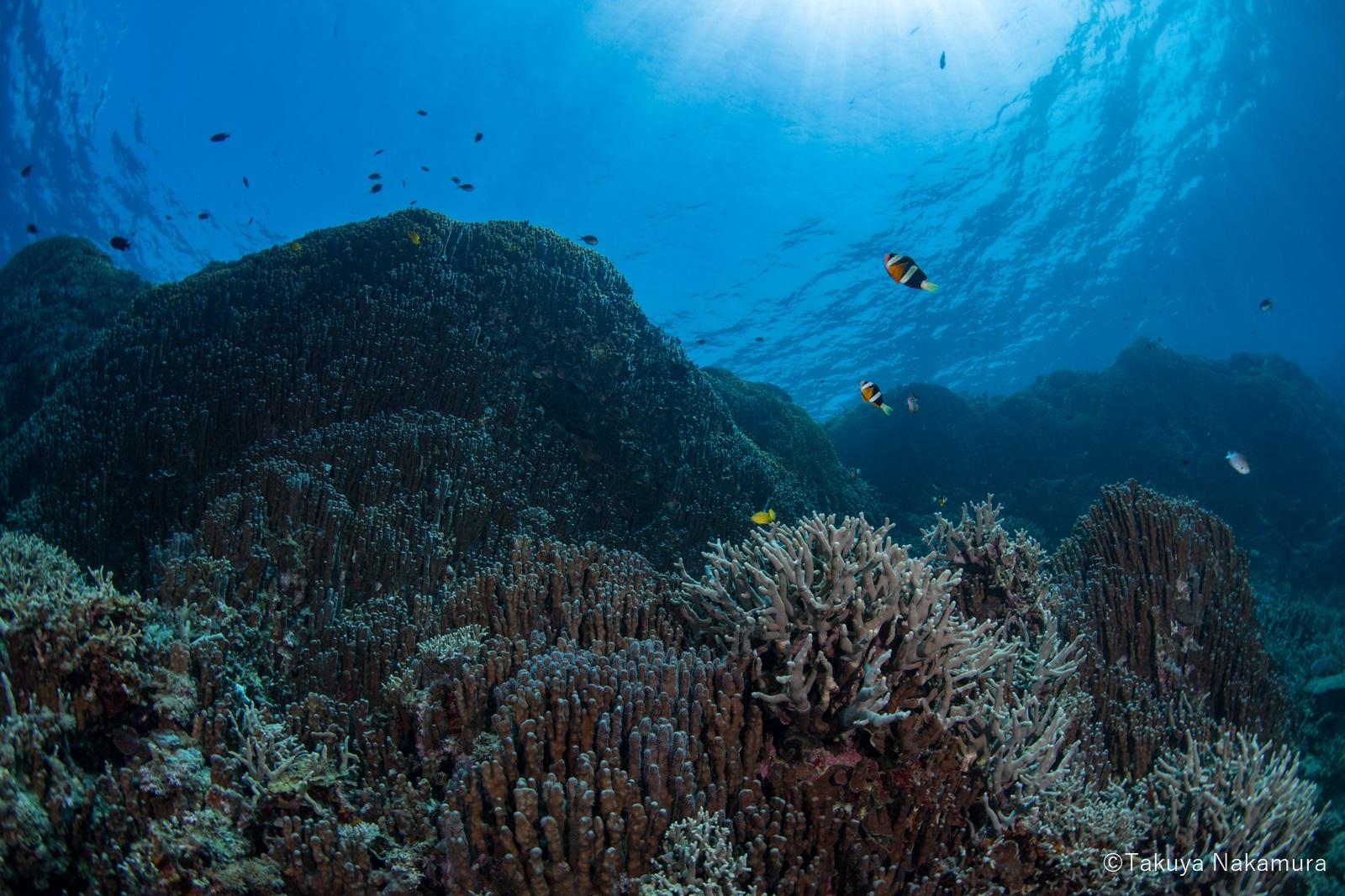 「縄文サンゴ」とも呼ばれる辺野古・大浦湾のアオサンゴ