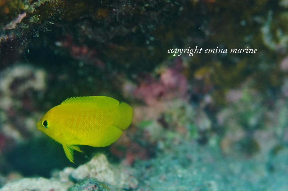 最近たくさん見られるというヘラルドコガネヤッコ幼魚
