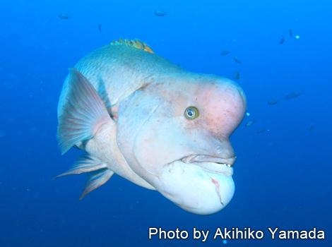 コブダイ(成魚)