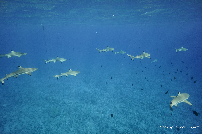 タヒチといえばシャークダイビング! ボラボラ島「タプー」にて。