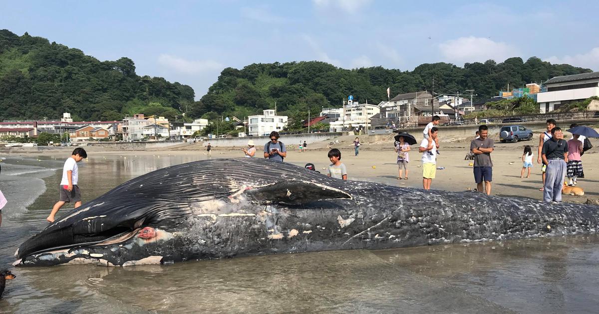鎌倉市・由比ヶ浜にクジラが打ち上げられる