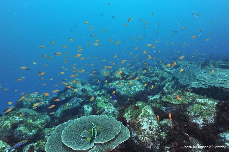 三宅島のテーブルサンゴ。 「サンゴマップ」では、沖縄だけでなく、日本全国のサンゴを調査