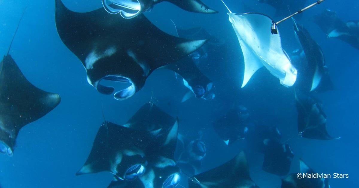 モルディブ バア環礁でマンタ150枚以上!