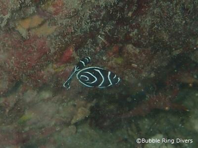 タテキン幼魚のペア