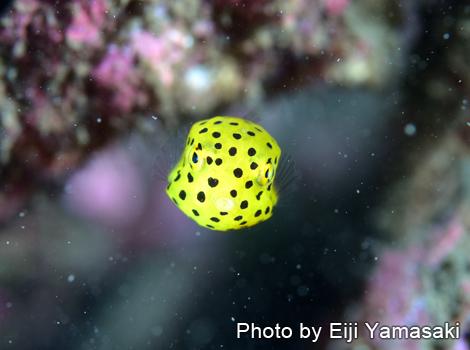 ハコフグ幼魚&ミノカサゴ幼魚