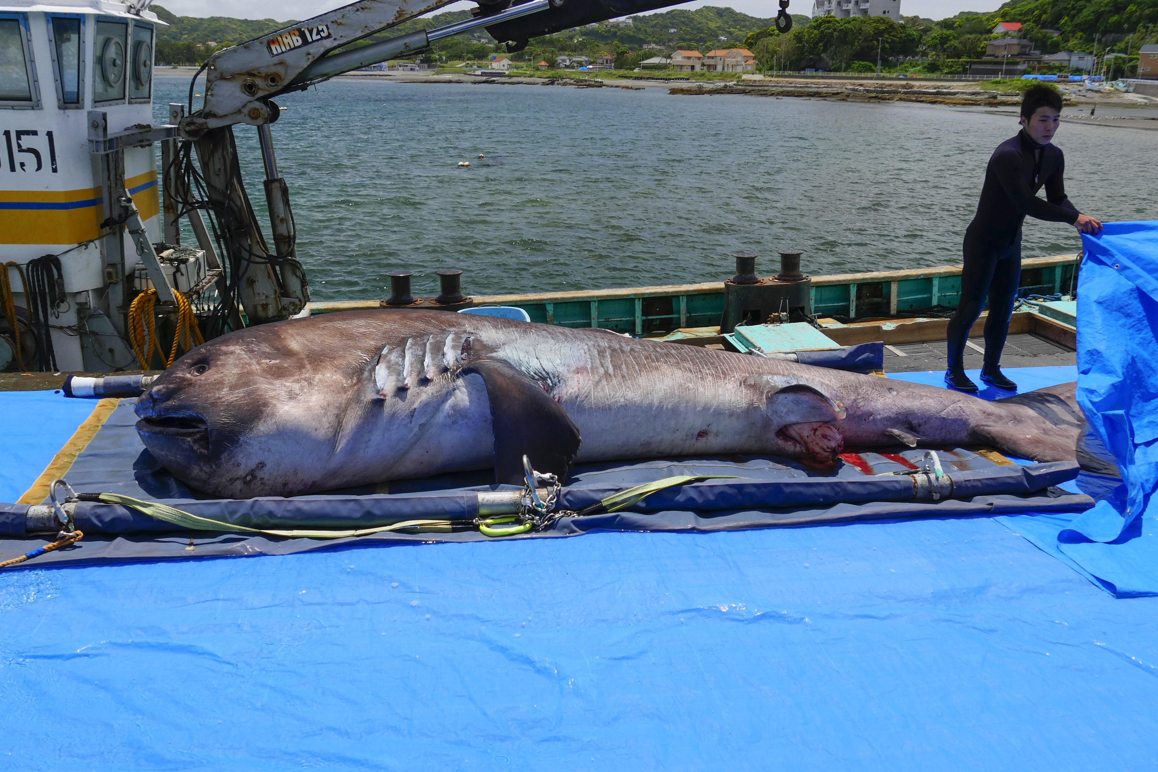 2017年5月に館山市洲崎沖の定置網に入っていた個体(全長約5.4m、体重1.2t、メス)が息絶え、今回の標本に