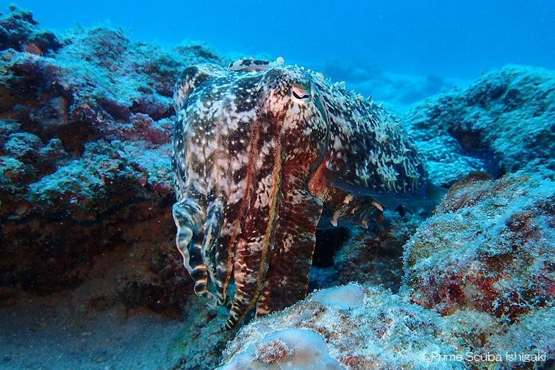 大ぶりなコブシメ