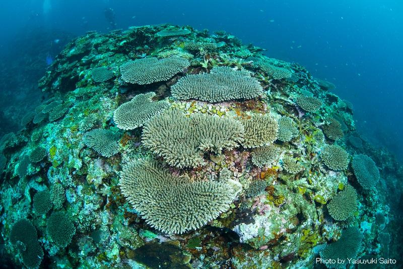 サンゴが元気な石垣島の海