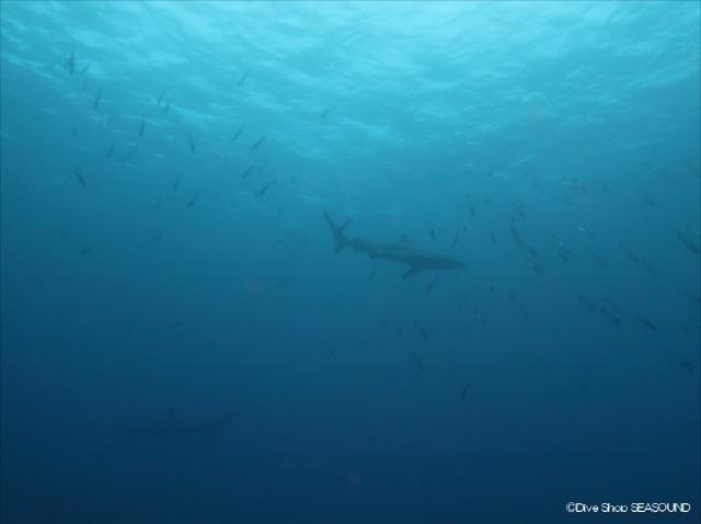 12日に撮影されたサメの様子