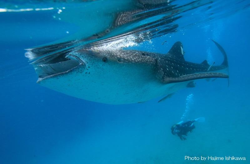ジンベエザメと泳げるオスロブ