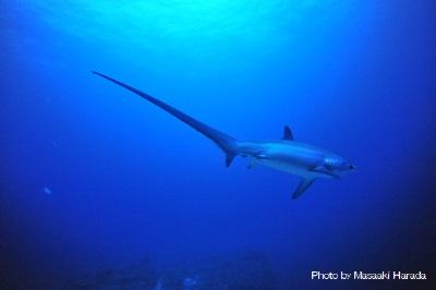 セブ島北部から船で約30分のマラパスクア島にはニタリが