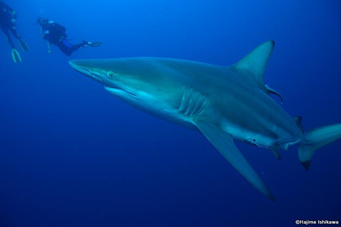 大型のサメがダイバーのすぐ近くに!「プロテアバンクス」