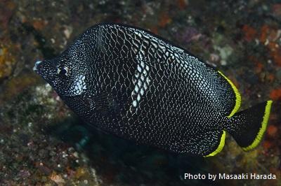 日本固有種のユウゼン 八丈島から小笠原諸島にかけての海域でも見られる