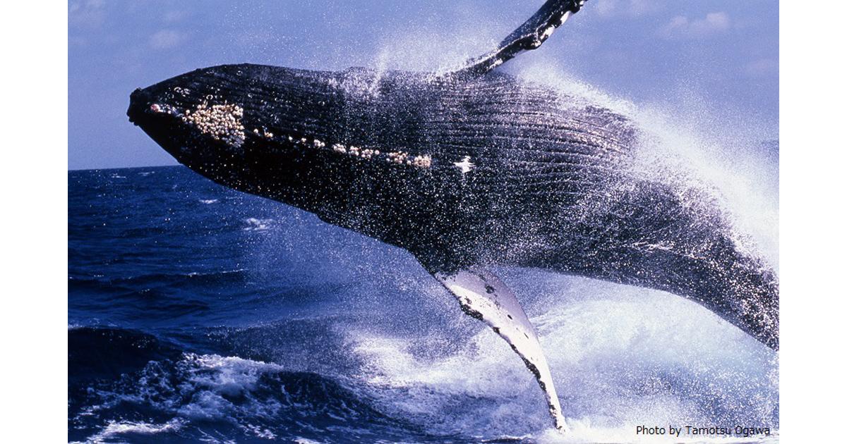 水中写真師・小川保さん ザトウクジラ写真展