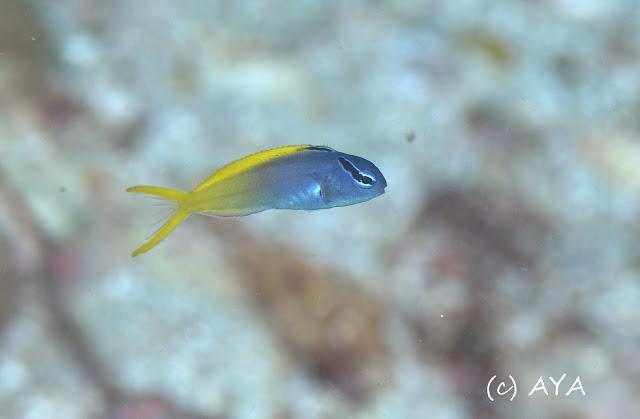 オウゴンニジギンポの幼魚