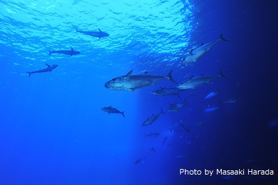 ダイビングスポット「マグロ穴」のイソマグロ