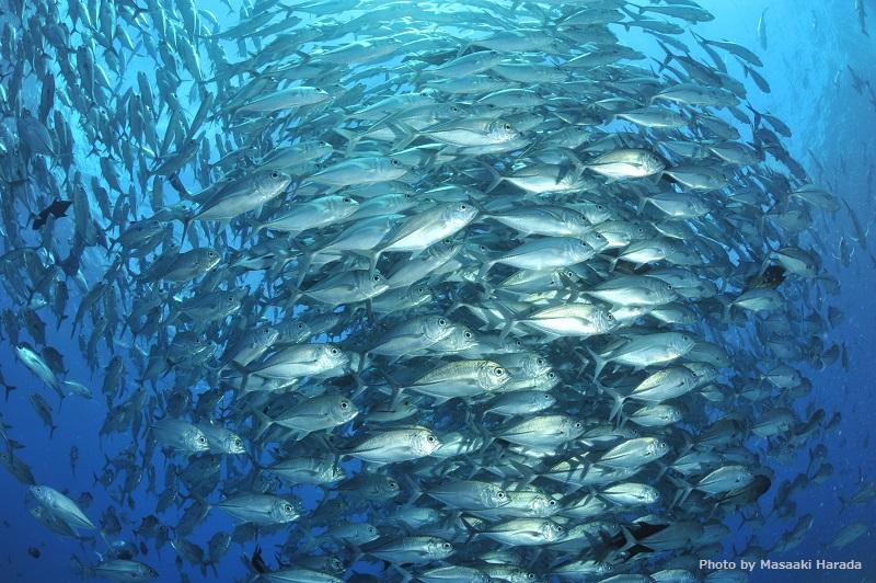 パラオのダイビングといえば、な 「ブルーコーナー」でギンガメアジの群れに圧倒される