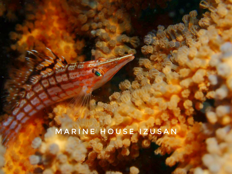 ソフトコーラルに擬態するクダゴンベ。 小さな甲殻類をエサにしている