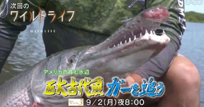 NHK「ワイルドライフ」 巨大古代魚ガーの謎