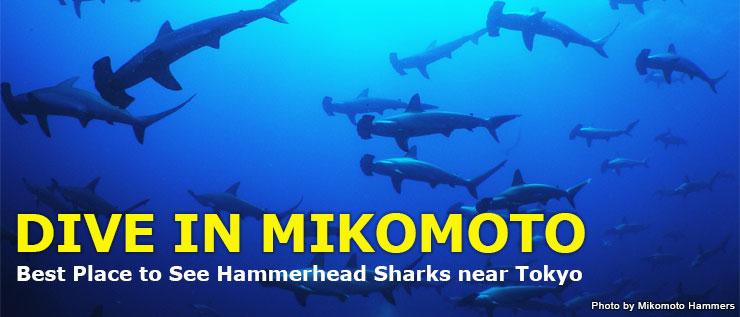 ハンマーヘッドシャークの群れは、ダイバーの憧れ♡