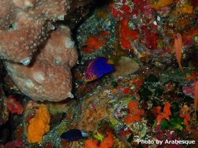 レンテンヤッコの幼魚