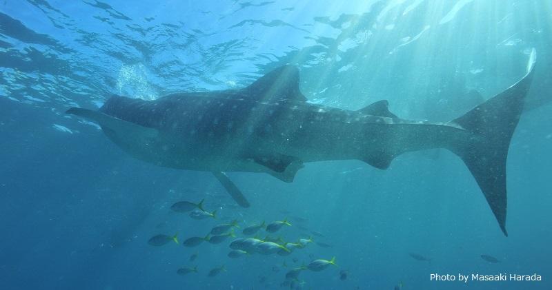 セブ島最南端のオスロブでは、 野生のジンベエザメに会える!