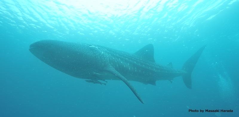 セブ島南端のオスロブでは、ジンベエザメと泳げます