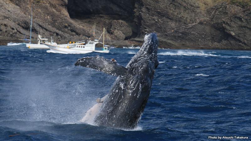 伊豆でザトウクジラのブリーチングを観察できるなんて!