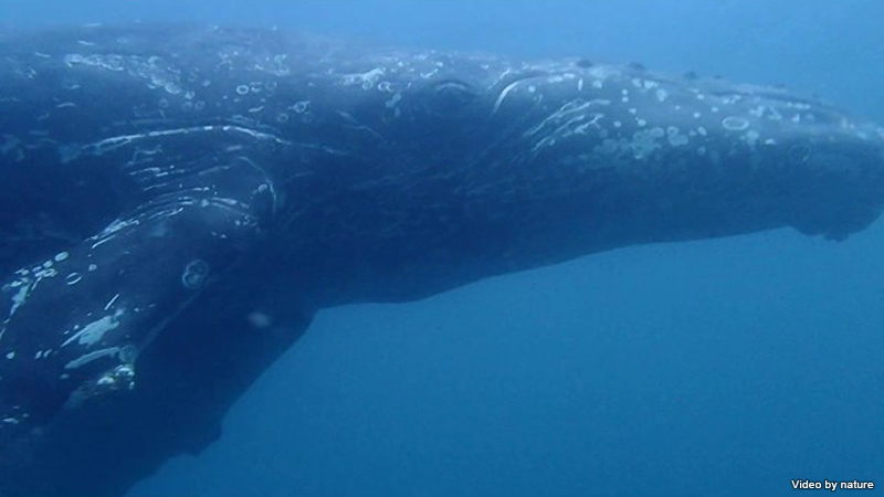 串本でもザトウクジラが出現!