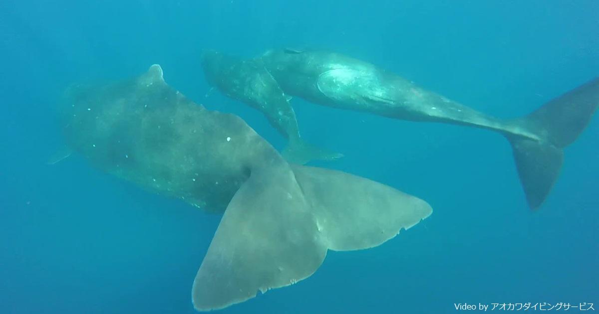 マッコウクジラと超接近! 沖縄本島周辺