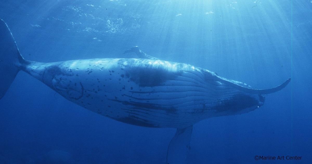 座間味でザトウクジラ骨格標本プロジェクト
