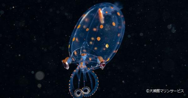 大瀬崎で今話題の浮遊系生物について学ぶ