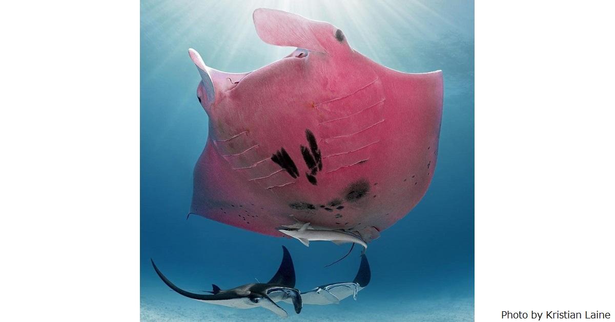 ピンクのマンタで話題!レディ・エリオット島