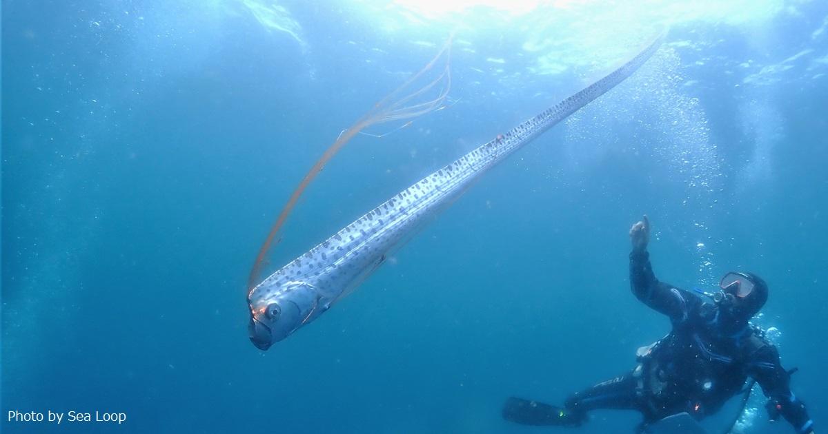 ダイビング中にリュウグウノツカイに遭遇! 島根県
