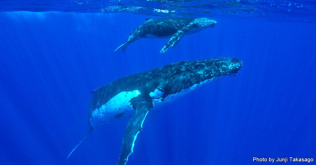 ザトウクジラと泳ぐ トンガ・ババウ島ホエールスイム