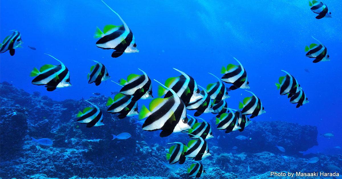 海のいきもの 第67回 ハタタテダイ2種とツノダシさんの見分け方