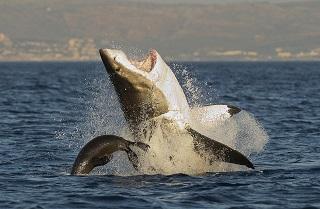 「最強のハンター:サメ」©Sergei Uryadnikov/iStockphoto LP
